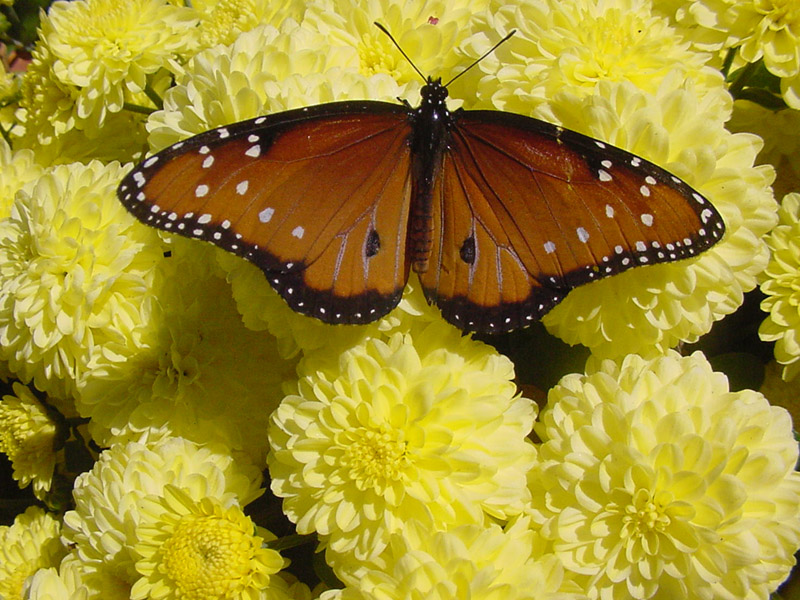 queen monarch butterfly index by flower index by butterfly butterfly ... Queen Butterfly Vs Monarch