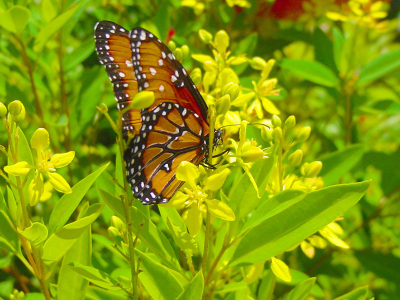 Thryallis - Queen Monarch Butterfly Queen Butterfly Vs Monarch