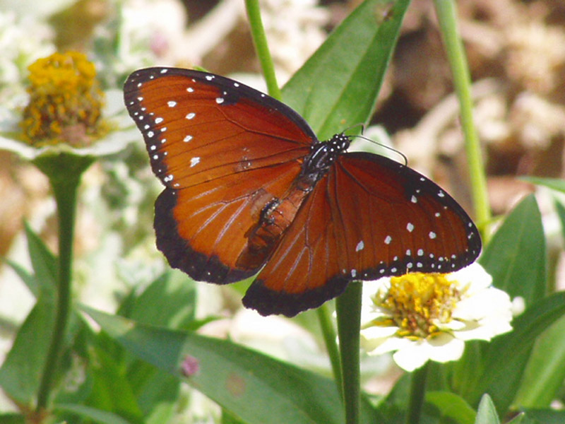 Zinnia - Queen Monarch Butterfly Queen Butterfly Vs Monarch