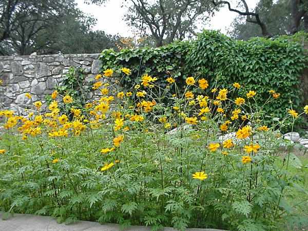 Cosmos flowers tall bushy with large profuse flowers an old cosmos is the flower you should grow spanish priests grew cosmos in their mission gardens in mexico the evenly placed petals led them to christen the mightylinksfo