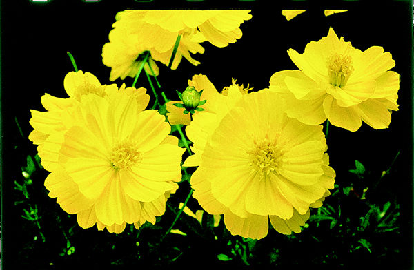 Plant answers 10 cosmos is one of the easiest to grow flowers in texas and is generally a pest free annual mightylinksfo