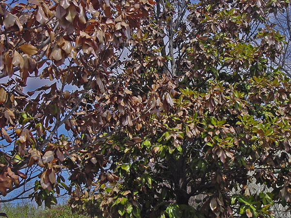 magnolia tree. Magnolia tree on the right