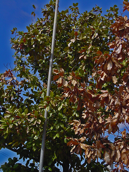 Plantanswers Plant Answers Winter Drought Stress On San Antonio Landscape