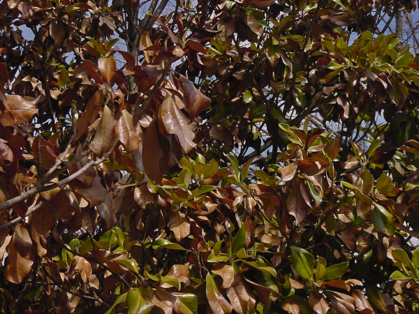 Do Magnolia Trees Lose Leaves In Winter Migrant Resource Network