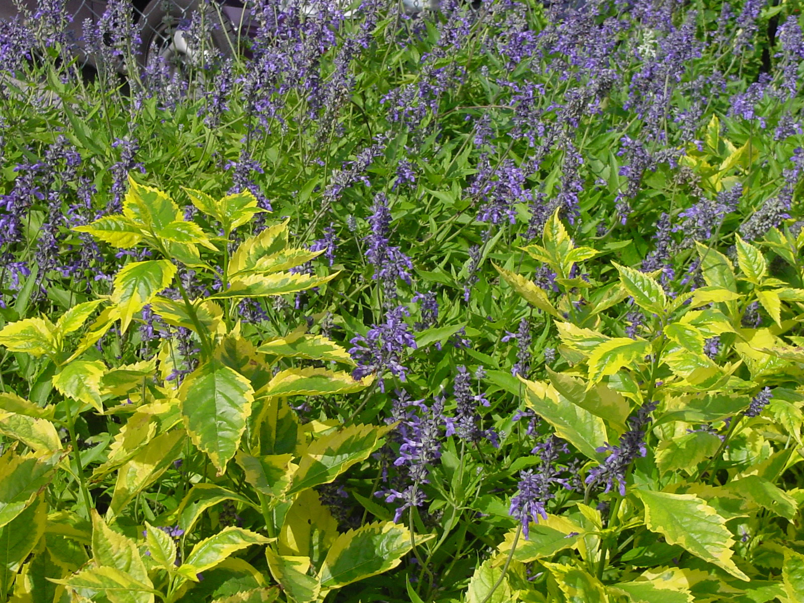 Plantanswers Plant Answers Gt Duranta A Texas Superstar