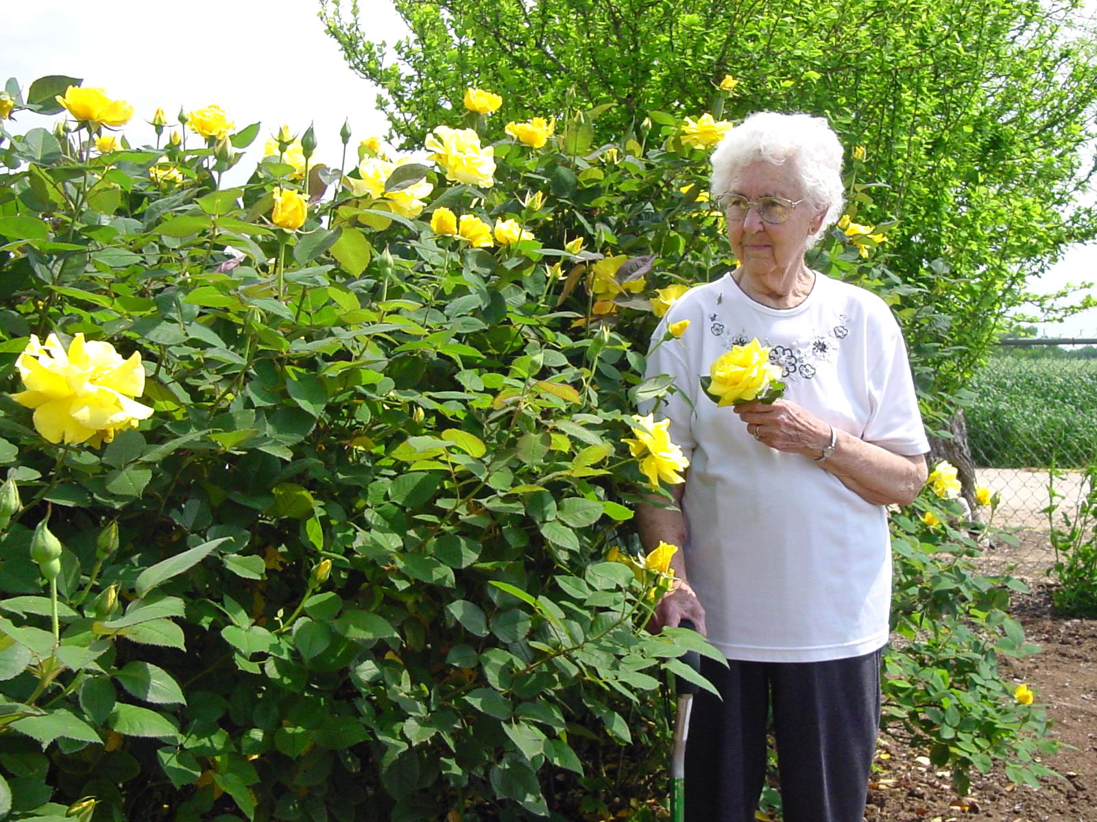 Pics Photos - Yellow Rose Of Texas Bush
