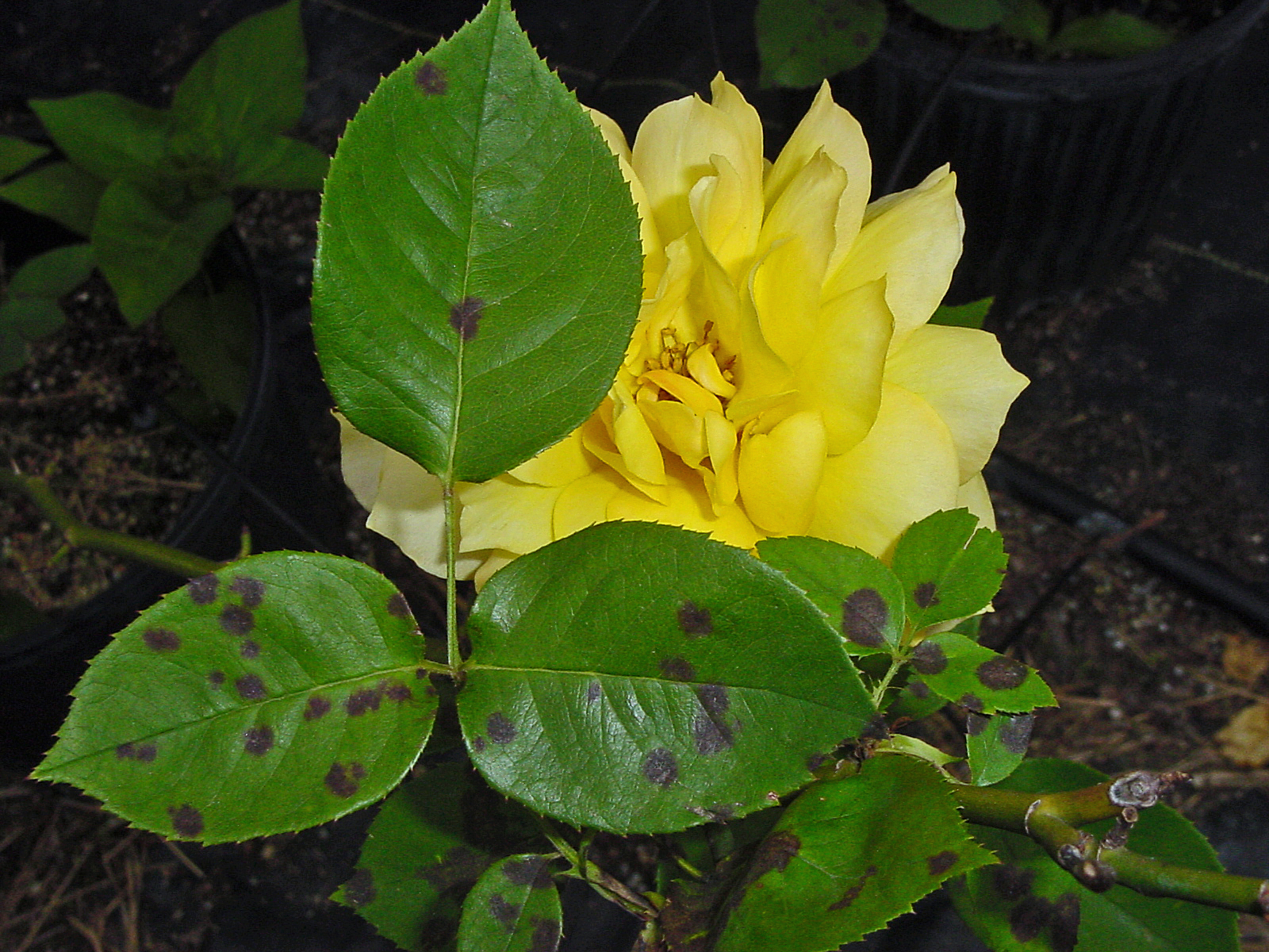 Yellow Rose Bushes Types This yellow rose is veryYellow Rose Bushes Types