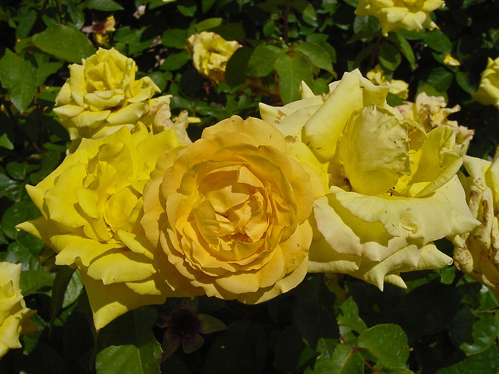 PLANTanswers: Plant Answers > GRANDMA'S YELLOW ROSE