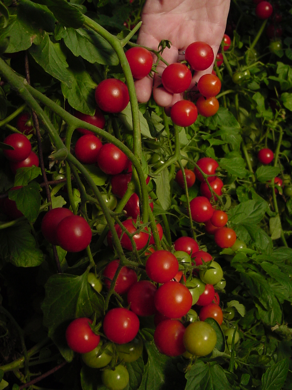 PLANTanswers: Plant Answers > The 2009 Rodeo Tomato for ...