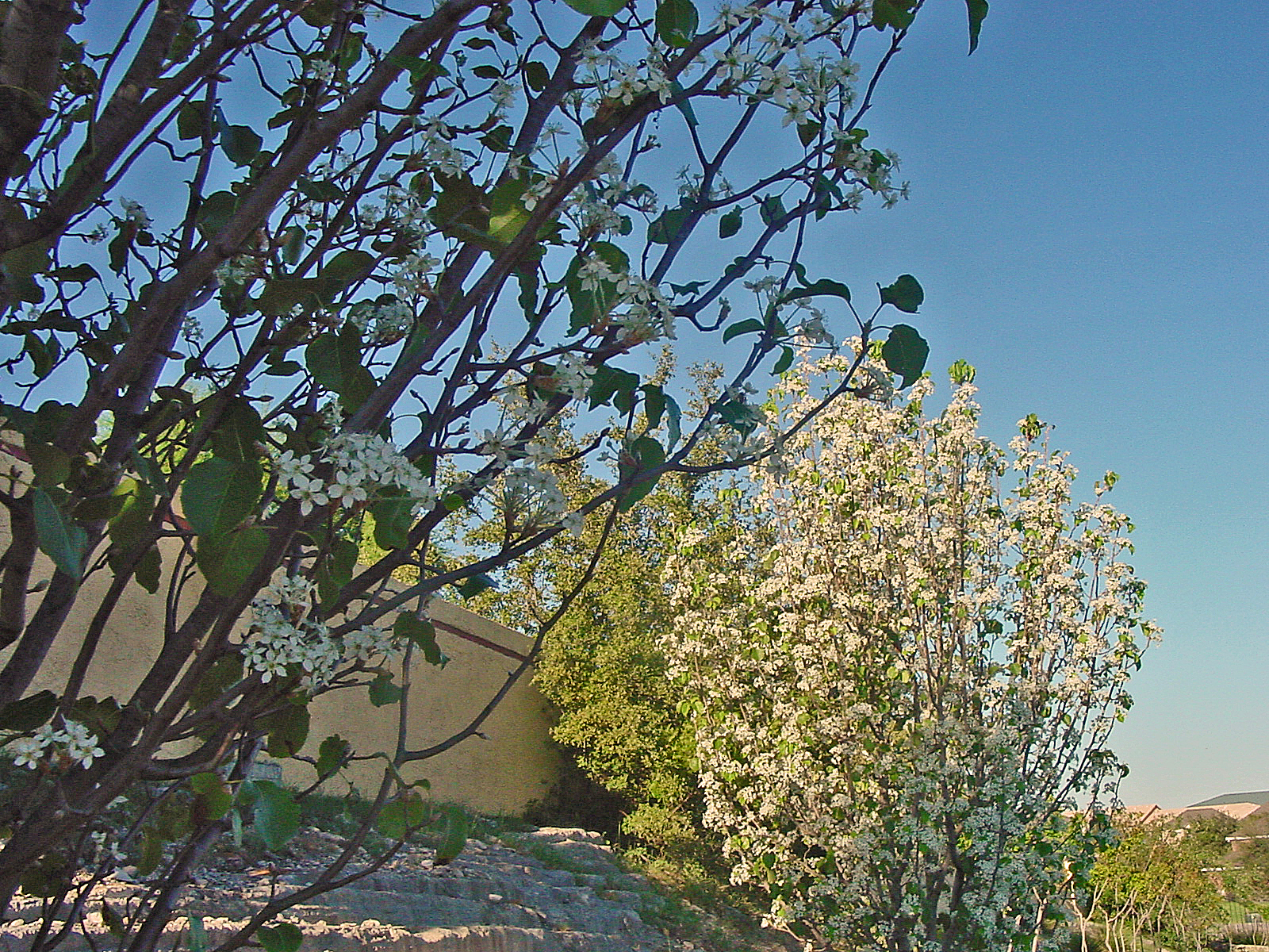 Plantanswers Plant Answers Flowering Fruit Trees Pear In Late