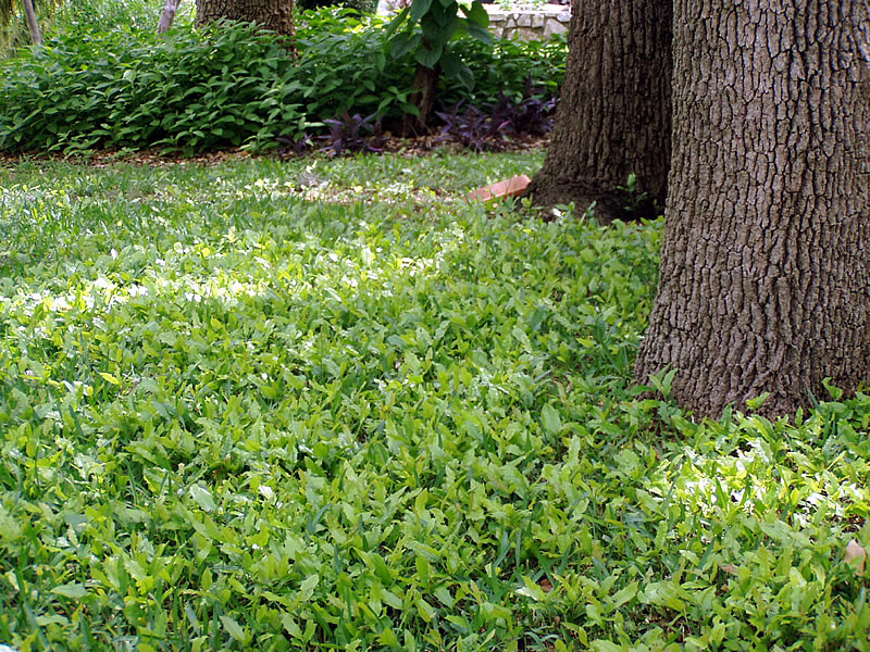 How To Plant Grass Under Oak Trees : Live oak root sprouts