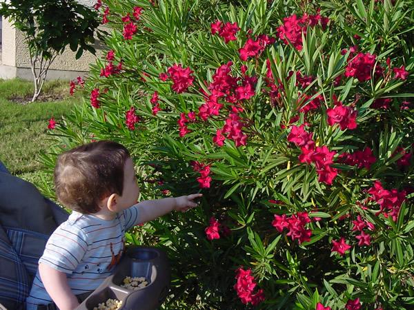 Oleander bushes poisonous