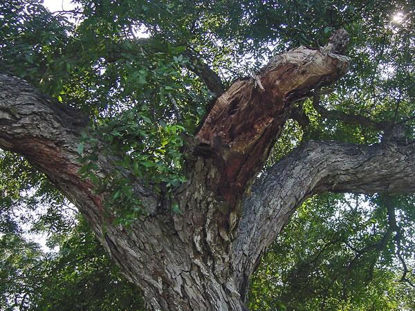 Bark Shedding Uga Pecan Extension