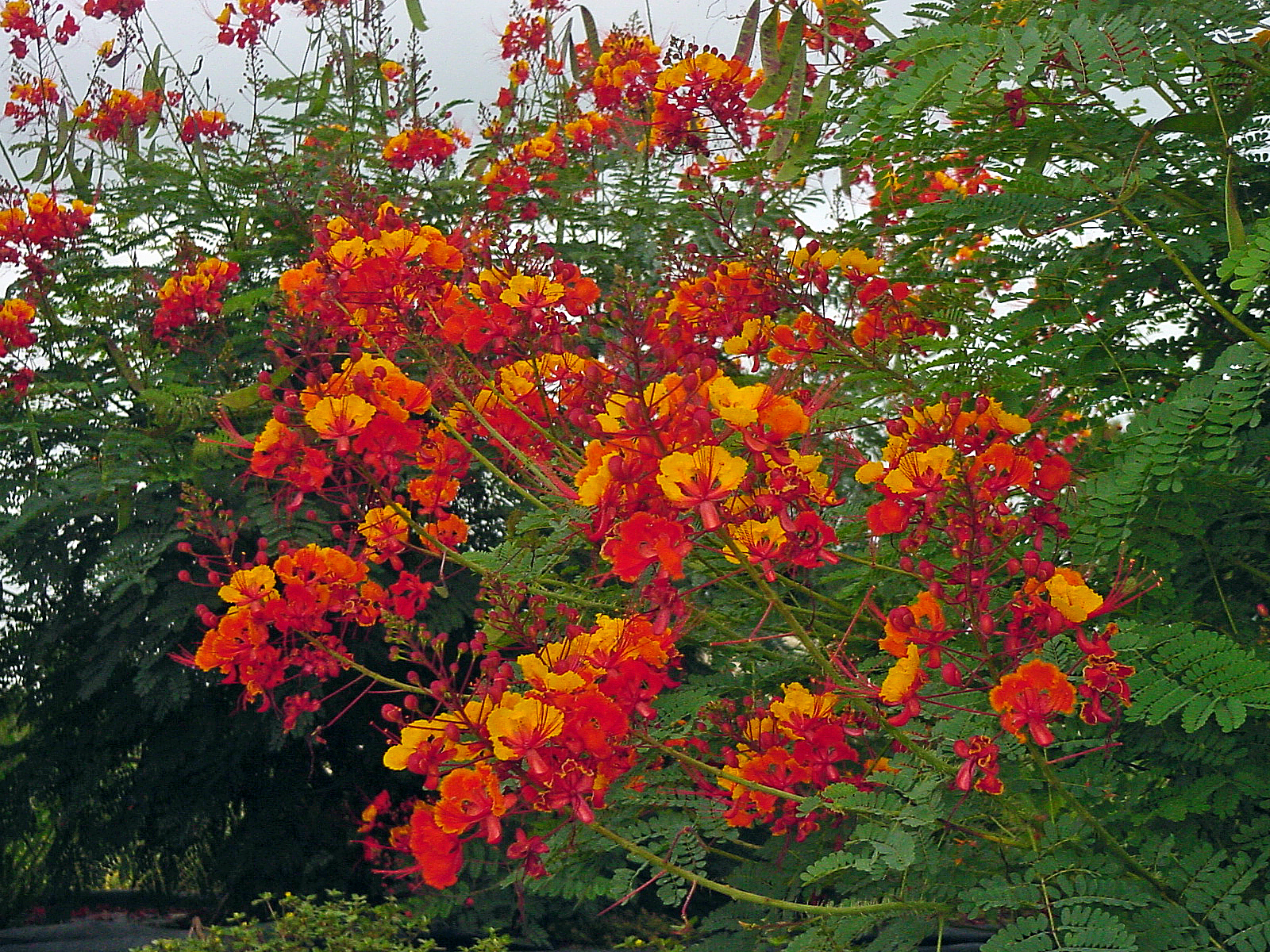 Plant answers the pride of barbados becomes the pride of texas izmirmasajfo