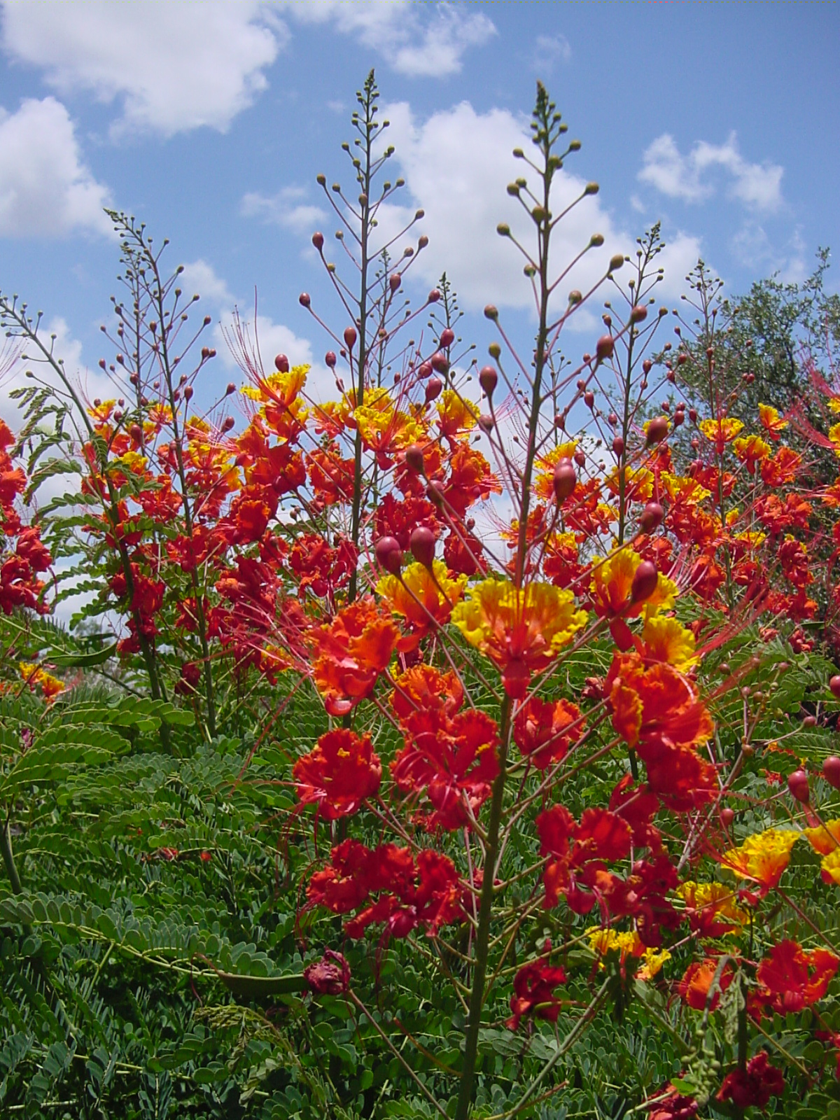 For Images Go To Http Horticulture Tamu Edu 7998 Superstar And Search Pride Of Barbados