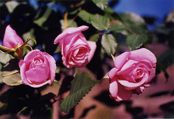 Tipos de rosas, diferentes tipos de rosas, flores, tipos de rosas