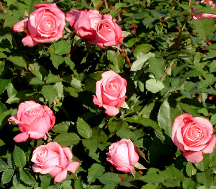 Plantanswers Plant Answers Gt Belinda S Dream Rose