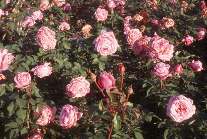 Plantanswers Plant Answers Gt Belinda S Dream Rose