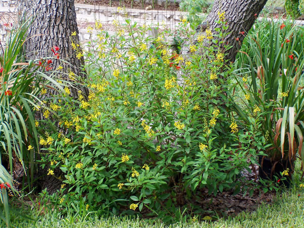 Plant answers this compact upright rounded evergreen shrub is covered during most of the year with small very showy yellow flowers the loose mightylinksfo
