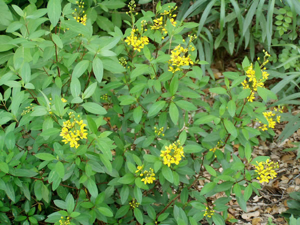 Plant answers this compact upright rounded evergreen shrub is covered during most of the year with small very showy yellow flowers the loose mightylinksfo Images